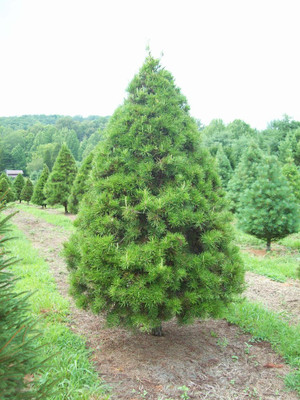 Buy virginia pine online and enjoy a fast growing pine perfect for borders or wind screens.