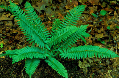 Christmas Fern are a fast growing fern that has vibrant green foliage.