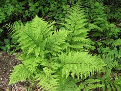 lady fern plant