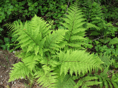Lady fern plant is very low maintenance and looks great in any landscape.