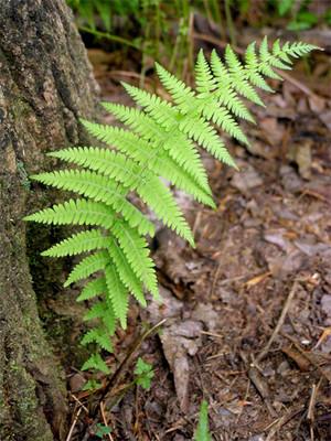 Hay scented fern is a fast growing fern.