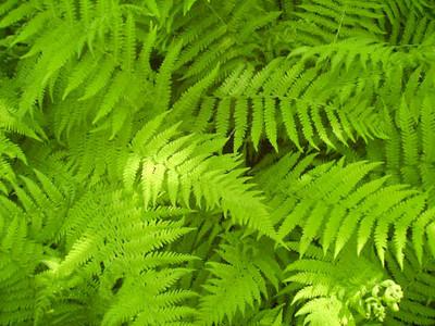 New york fern is a fast growing fern that look great along fences.