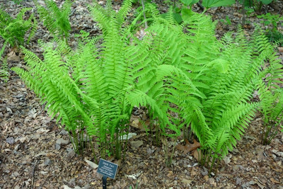 Ostrich fern is a low maintenance fern that grows near riverbanks and moist areas.
