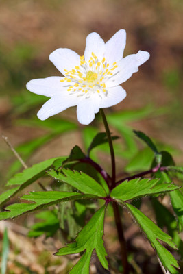 Rue Anemone is a fast growing flower that grows anywhere.
