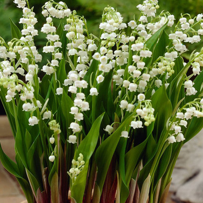 Lily of the valley in bloom have a gorgeous white foliage.