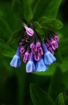 Virginia Bluebells Flower