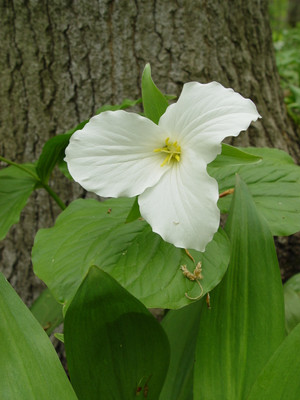Great White Trillium are a fast growing flower.