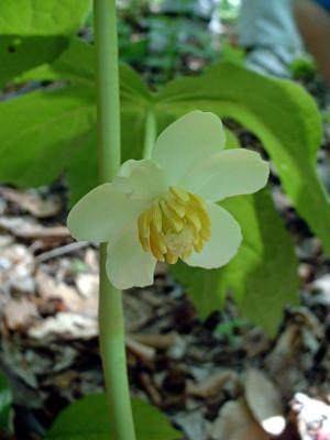 may apple plant