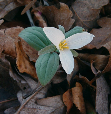 Snow Trillium is a low maintenance flower that has bold white blooms.