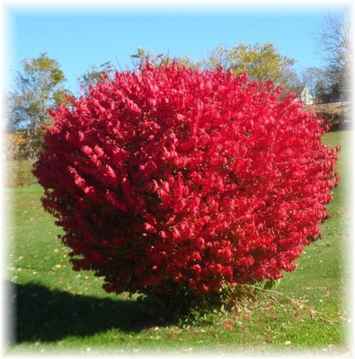 Burning bush is a low maintenance shrub that can be planted almost anywhere.