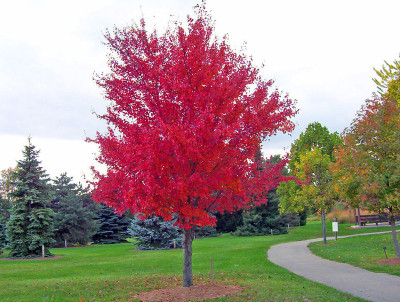 Red Maple Tree is a fast growing tree that makes excellent shades.
