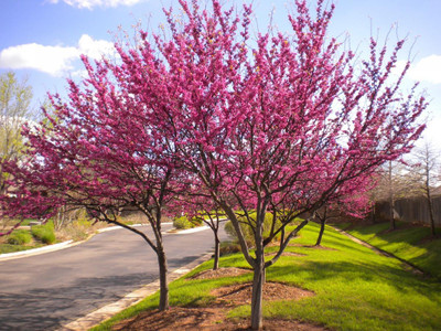 Redbud trees in bloom have a vibrant pink foliage.