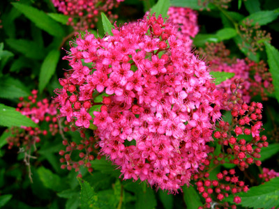 Pink spirea blooms are a vibrant pink foliage.