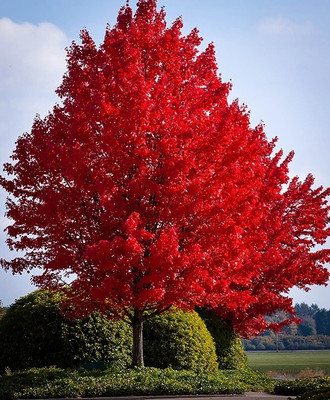 Red Maple Live Stakes is a fast growing way to have vibrant fall foliage.