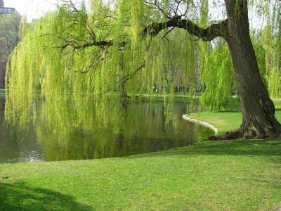 Weeping Willow live stakes are a fast growing tree that has amazing foliage.
