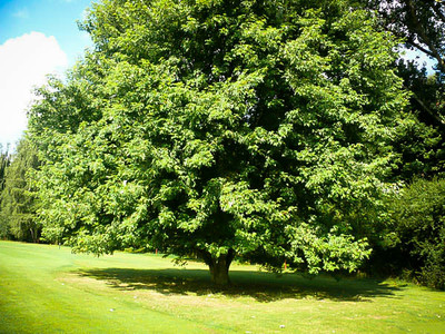 Silver Maple Live Stakes
