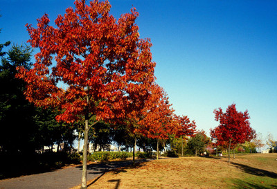 Red oak tree is a fast growing tree that has vibrant red foliage in the fall.