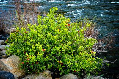 Spice bush