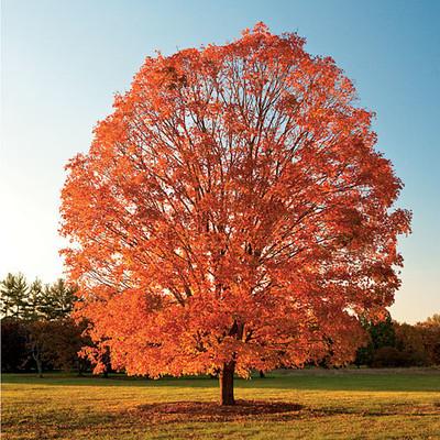 Sugar maple tree in fall has vibrant orange foliage.