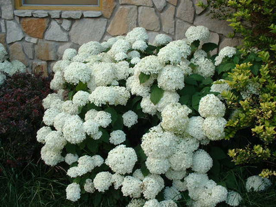 Snow hill hydrangea look great for borders.