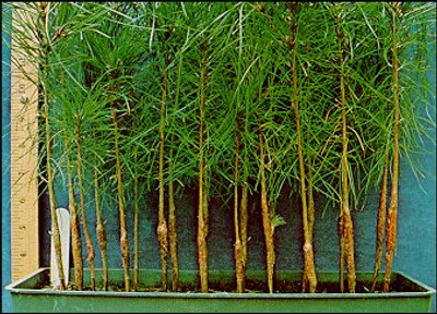 Pine seedlings are a fast growing pine that makes excellent borders.
