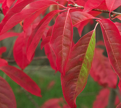 Red sourwood leaves have beautiful red foliage in the fall.
