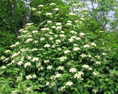 maple leaf viburnum