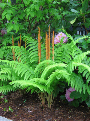 Large Cinnamon Fern is a fast growing fern that looks great anywhere.