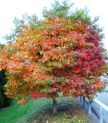 Sassafras Tree is a fast growing tree that would add a gorgeous pop of color to any area.
