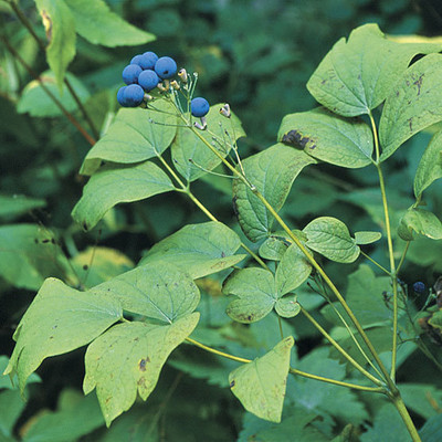 Blue Cohosh is a fast growing flower that will add a pop of vivid blue color to any flower garden.