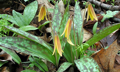 Trout Lily Flower is a fast growing flower that blooms a snowy white to yellow color.