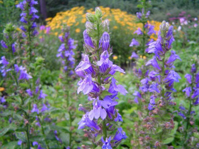 Blue Lobelia - Blue Cardinal Flower