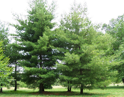 Eastern white pine tree is a fast growing tree that makes beautiful borders around property.