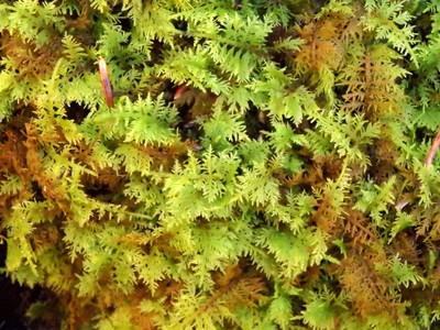 Common Fern Moss