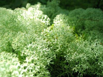 Reindeer Moss is a low maintenance moss that has light green foliage.
