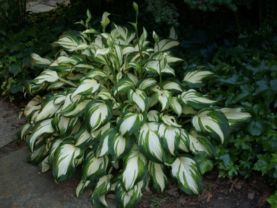 Hosta is a low maintenance plant that has vibrant green and white colors.
