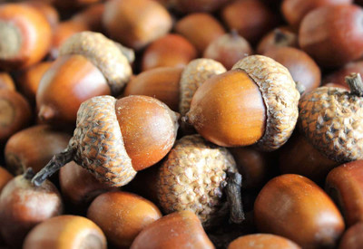 Acorns come from the oak trees.