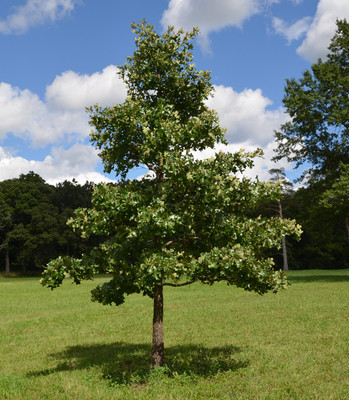 Post oak tree is a fast growing tree that makes wonderful shade trees.