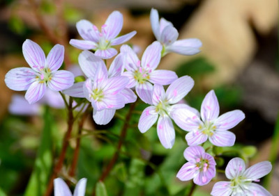Virginia Spring Beauty is a fast growing flower that has beautiful lilac colors.