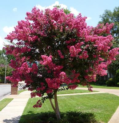 Pink Crepe Myrtle