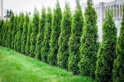 Arborvitae are low maintenance trees that grow up to 70 feet tall.