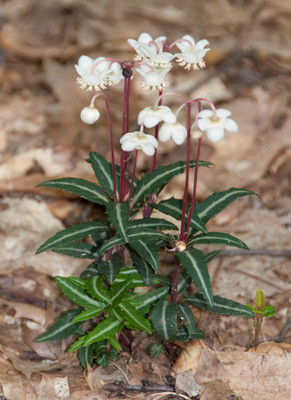 Spotted Wintergreen Plant