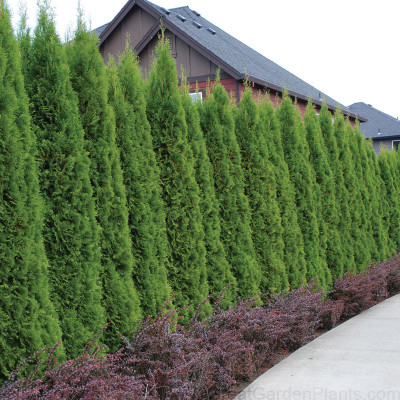 Emerald Green Arborvitae are fast growing trees that make excellent borders.