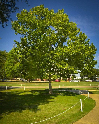 American Sycamore is a fast growing tree that has beautiful fall foliage.