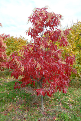 Sourwood Tree is a fast growing tree that has beautiful red fall foliage.