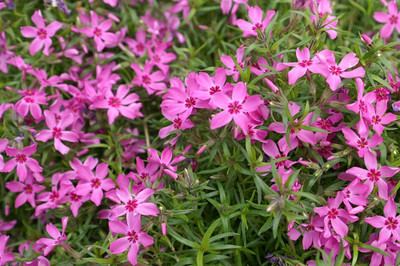 Phlox Subulata - Crimson Beauty