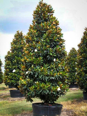 Southern Magnolia are fast growing trees that make beautiful additions to any yard.