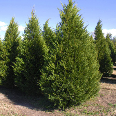Leyland CYpress are fast growing trees that make wonderful borders for any property.