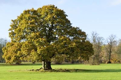 Oak trees have beautiful fall foliage.