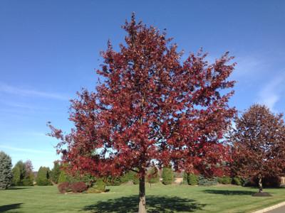 Scarlet Oak tree have a beautiful red fall foliage.